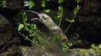 Water vole swimming