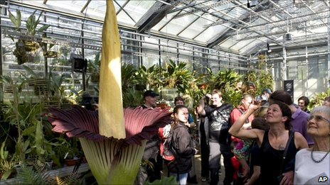 Visitors look at a blooming Titan Arum (Amorphophallus titanum), pictured in the botanical garden of the university of Basel, in Basel, Switzerland, 23 April 2011.