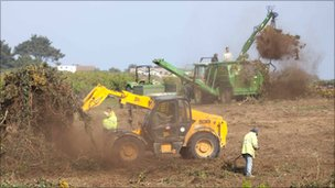 Gorse being cleared