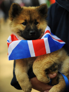 Rogue the Eurasier puppy