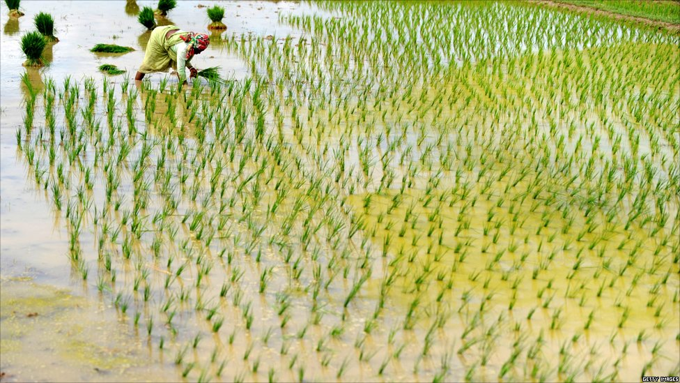 BBC News - India profile - In picturesImages Of Rice Plant