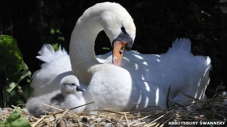 The first cygnet of 2011 to arrive at Abbotsbury Swannery, with its mother