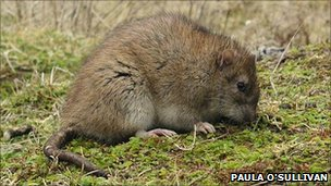 Brown rat (Paula O&#039;Sullivan)