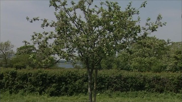 Apple tree in orchard