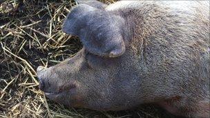 A pig at Hackney City Farm