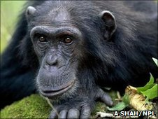 Common chimpanzee (Image: Anup Shah/ NPL)