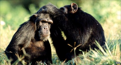 http://news.bbcimg.co.uk/media/images/52557000/jpg/_52557894_chimpanzees_grooming-spl.jpg