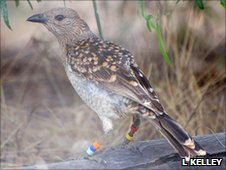 Spotted bowerbird (c) Laura Kelley