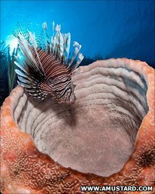 Lionfish swimming by coral