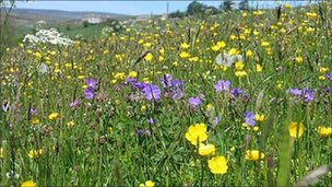Pennine hay meadow