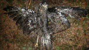 A dead buzzard