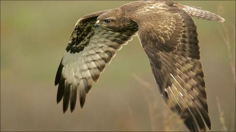 Buzzard in flight