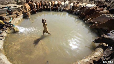 A boy stands as cattle drink water around him in Kadogli, South Kordofan State on 4 May 2011