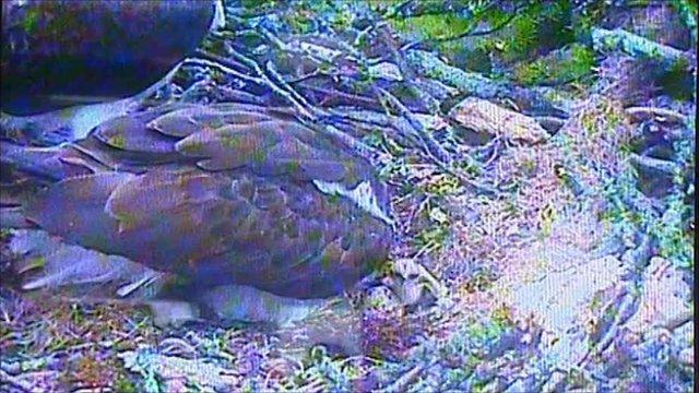 Webcam image of osprey with chick in Gwynedd