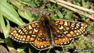 Marsh fritillary butterfly