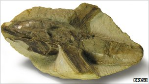 Pachycormus fossil owned by BRLSI