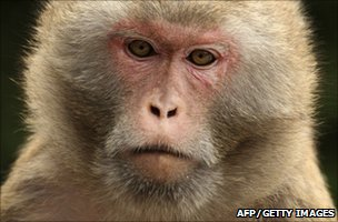 A rhesus macaque monkey