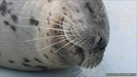 Henry the seal (c) Marine Science Centre at Rostock University