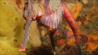 Seadragon feeding (c) Keith Martin-Smith