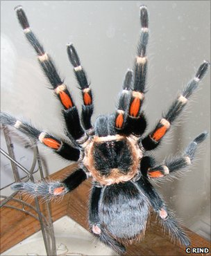 Mexican flame-kneed tarantula