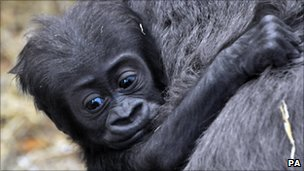 Tiny the gorilla