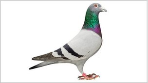 Champion Treble Six Pigeon