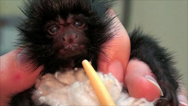 Francisco, the baby black lion tamarin (image: Durrell)