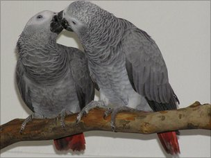 African grey parrots, Leo and Zoe (Image: Dalia Bovet)