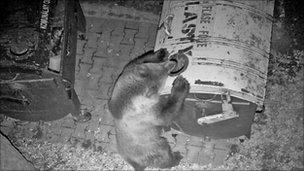 Bin raiding bear