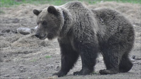"A ""problem bear"" in Slovakia"