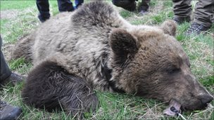 Bear being tagged