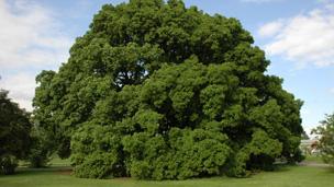 Turner's Oak