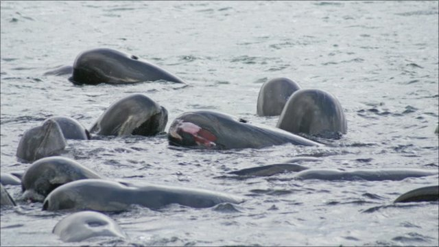 Pilot whales