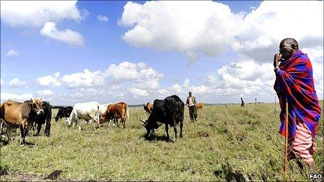 Kenyan pastorialist with cattle herd (Image: FAO)