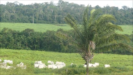 Cattle in the foreground, forest in the background