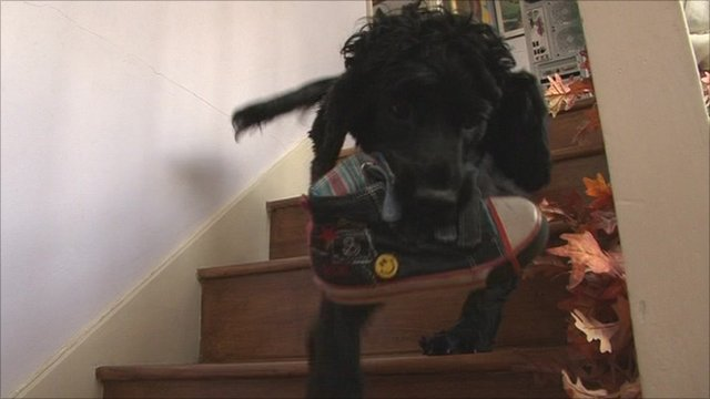 Spaniel carrying shoe downstairs