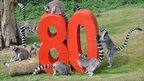 Whipsnade Zoo's ring-tailed lemurs take an interest in the 80 sign