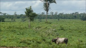Cow on cleared land