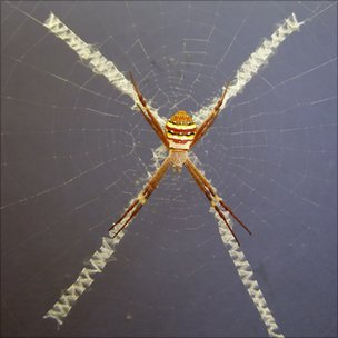 The orb-weaving spider  Argiope keyserlingi (Image: Andre Walter)