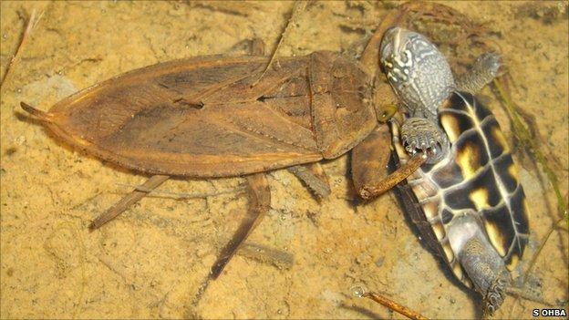 Kirkaldyia deyrolli preying upon a Reeve's pond turtle (c) Shin-ya Ohba