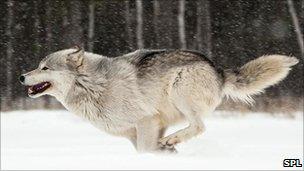 A wolf in the snow
