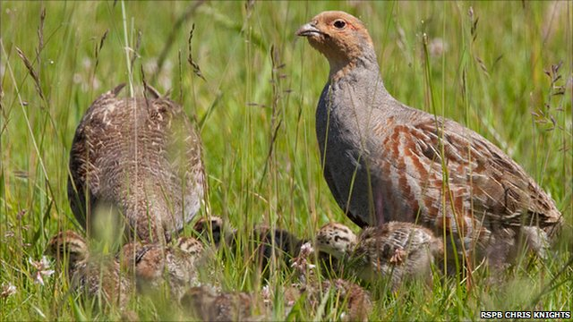 Grey partridge makes c...