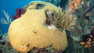 Healthy brain coral, Bahamas (Jeff Yonover)