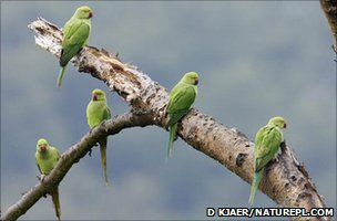 Parakeets in a tree (Image: David Kjaer/naturepl.com)