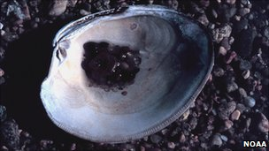 Northern quahog