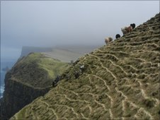 Sheep on steep cliffs of Mykines