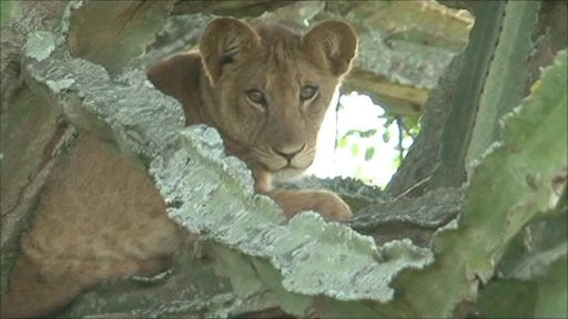 Lion in a tree, Uganda