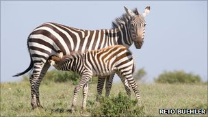 Zebra (Image: Reto Buehler)