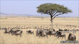 Wildebeest (image: Reto Buehler)