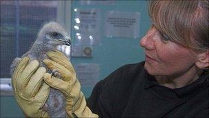Colleen Copper with buzzard chick